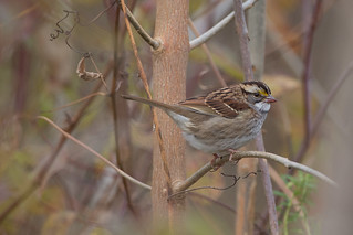 White-throated Sparrow | by zeledonia