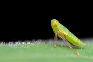 Leafhopper nymph (Coelidiinae) - DSC_9139