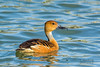 Fulvous Whistling Duck (Dendrocygna bicolor) by Tim Harding