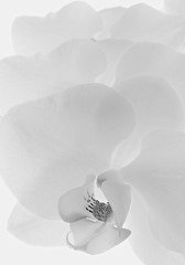 Study of an Orchid in B&W