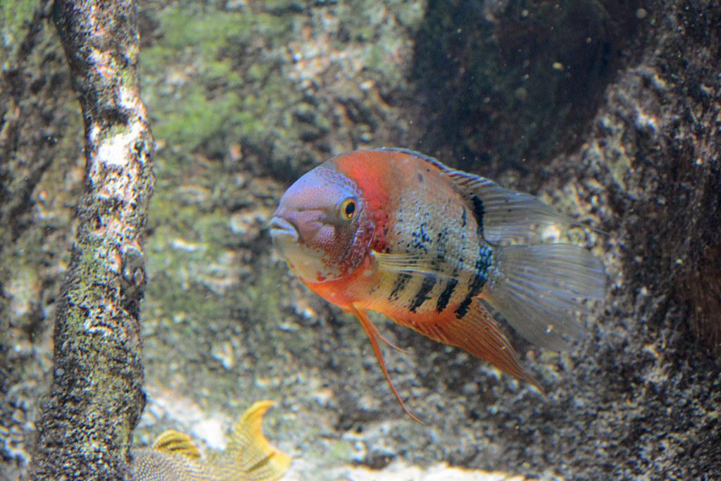 Rotrücken-Augenfleckbuntbarsch im Tierpark Hellabrunn