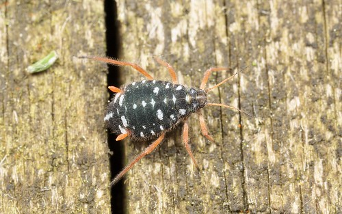Pterocomma salicis (Black Willow Aphid) 4b | by Jonathan (chirpy)