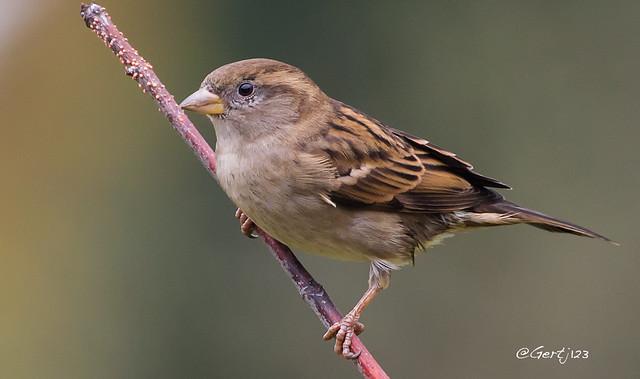 House-Sparrow-171113(2)