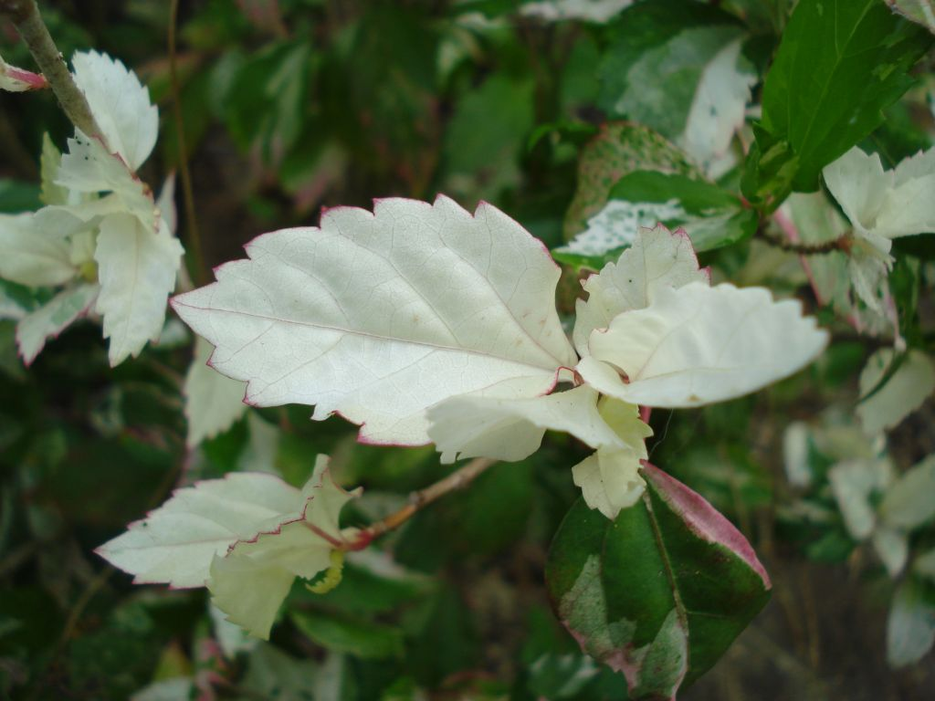 Hibiscus Plant Leaves White Leaves And Green Leaves Flickr