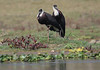 Woolly-necked Storks by Wild Chroma