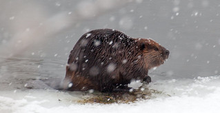 Busy Beaver eating salad in the snow  in the Delaware River, Pond Eddy, NY | by BrightGarden