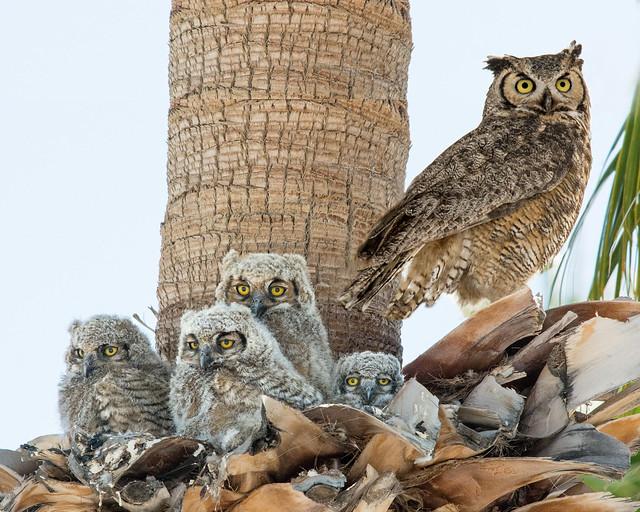 Great Horned Owl family (Explore)