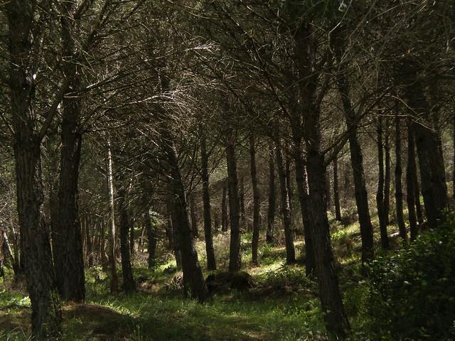 Bosque de Pinus pinea o Pino piñonero en Valverde del Camino, Huelva, España