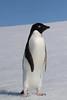 Adelie Penguin by RedAbbott