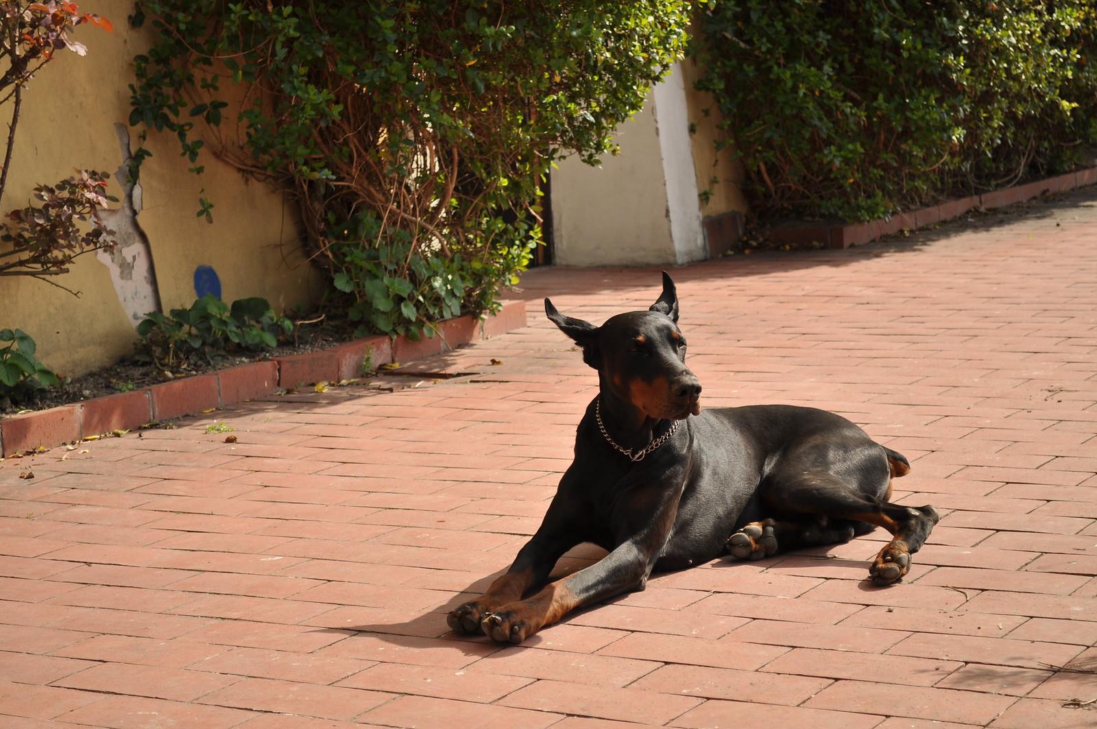 Dobermann - Dog Scanner
