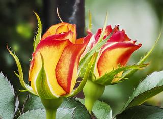 Roses | by Roniyo888
