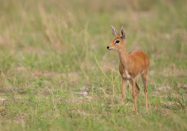 Steenbok, (Explored) Raphicerus campestris, Hwange National Park, Zimbabwe