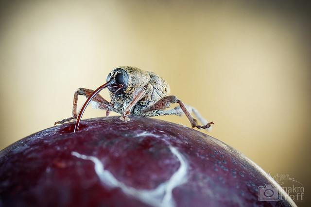 Mo, 2013-11-04 19:20 - Hier habe ich einen kleinen (6 - 8 mm) Haselnussbohrer (Curculio nucum) abgelichtet. Diese interessanten Rüsselkäfer bohren Löcher in Haselnüsse und legen darin ihre Eier ab. Auf diesem Foto saugt er gerade an in aller Ruhe an einer heruntergefallenen Mirabelle! Habt ihr diese lustigen Käfer auch schonmal beobachtet/ fotografiert?