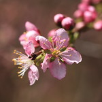 Japanese bush cherry / Prunus japonica / 庭梅(ニワウメ)