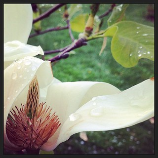 That time my gym membership expired, so I went for a walk in the experimental garden instead. #magnolia #latergram | by Liz Maliga
