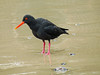 African Oystercatcher, Simon's Town, 270813 by 1760up