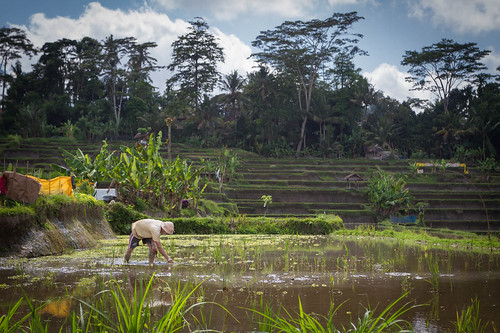 Sowing Rice in Kedewatan Village, Sayan Valley | by Luke Robinson