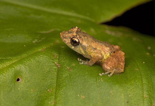 very small frog
