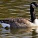 goose2