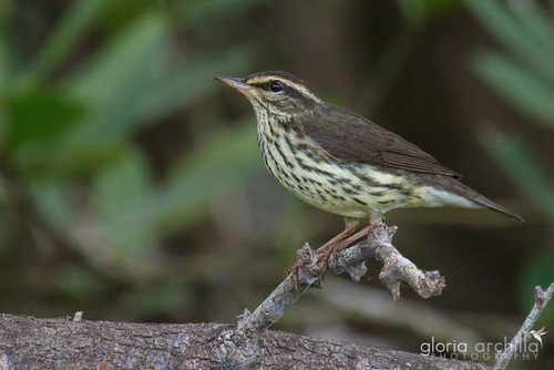Northern Waterthrush_Pizpita de Mangle_Seiurus noveboracensis | by Gloria Archilla
