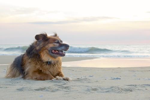 beach sunrise teddy 52weeksfordogs 52weeksfordogsweek11