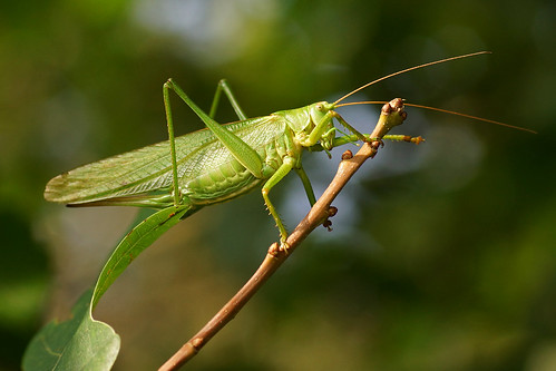 green bayern great natur wiese wald grashopper bushcricket grünesheupferd aichach insekts walderlebnispfad delopafoto grubet