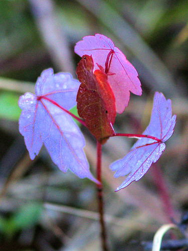 Red Maple seedling 20170320