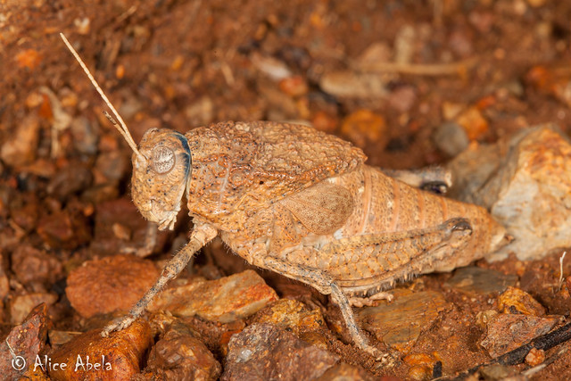 Chihuahua Toad Lubber (Phrynotettix tshivavensis) - Female
