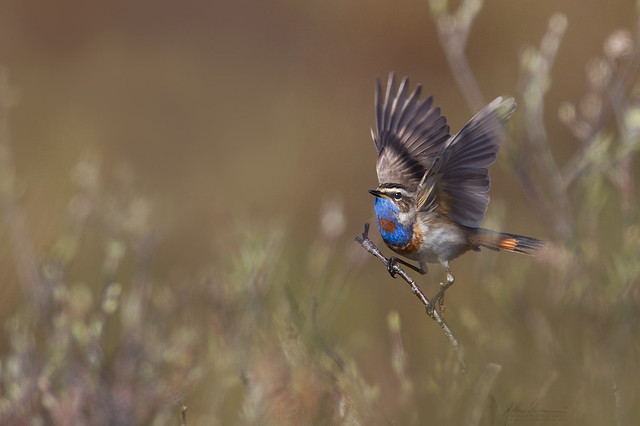 Bluethroat in a Willow