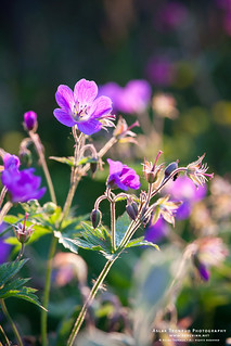 Wood Cranesbill | by The Autodidact Photographer