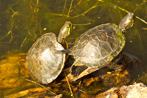 A  pair of Red Eared Sliders (Trachemys scripta elegans), | by retewphoto