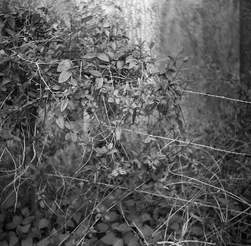 vines, barbed wire, ground cover, forest, West Asheville, NC, Flektar TLR 75mm f-3.5, Artista 400.Edu, Kodak TMax Developer, early March 2017
