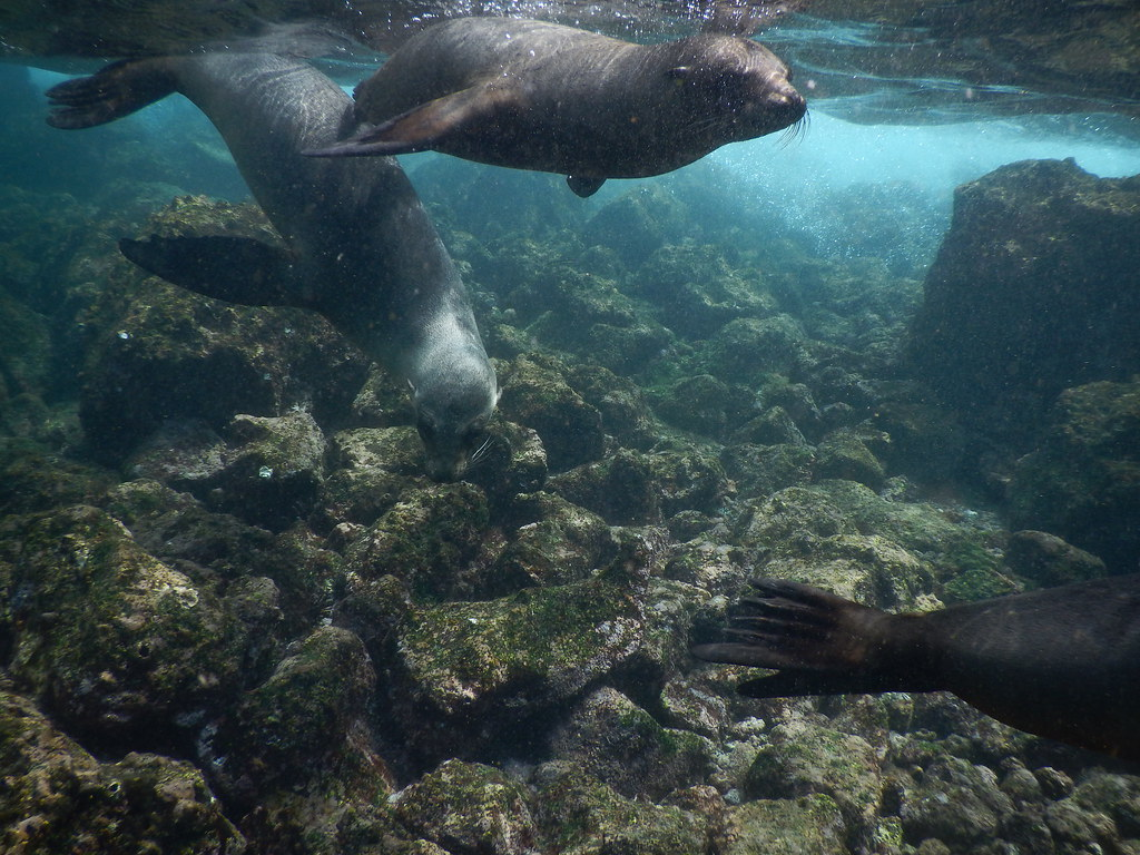 Sea Lions swimming, Galápagos