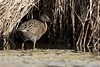 Clapper Rail by Gregory Lis