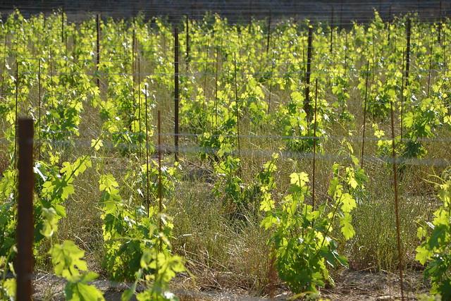 Vitis vinifera - vigne 32746805681_55bd57353e_z