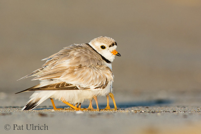 Piping plover parent