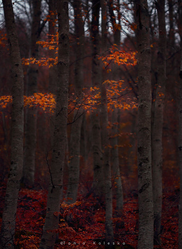 fog forest automn winter mountain mountains landscape landscapephotography landscapes nature naturesfinest national nationalgeographic natgeo leaves leaf red gold trees tree instagram outdoor camera camerapixo canon canoneos6d canonef1740mmf40lusm sell buy photography photo photographyart photographer art artphotography taniakoleska taniaphotos