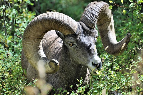 Perspectives_Stick_Alyce_Yellowstone Big Horn Sheep | by geosocietyphila