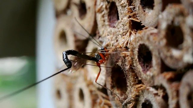 Parasitic wasp - movie clip