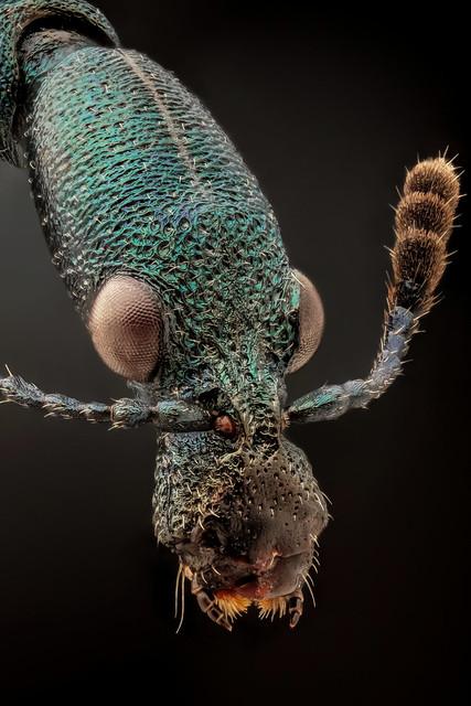 Blue metallic leaf-rolling weevil