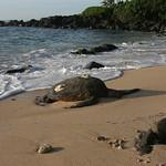 Sea turtle, North Shore, Oahu