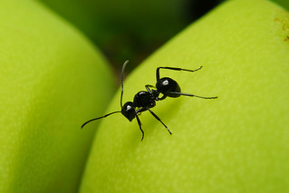 Rattling Ant