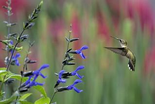 Hummingbird in the Garden_DSC6589
