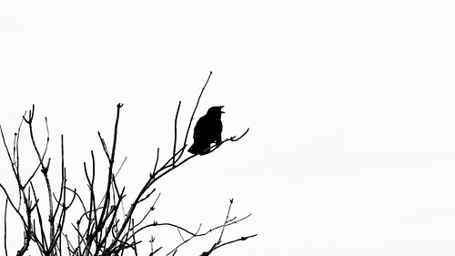crow silhouette bird blackandwhite bw contrast branches pacificnorthwest tree canon monochrome nisquallynationalwildliferefuge canonef100400mmf4556lisusm canoneos5dmarkiii washington