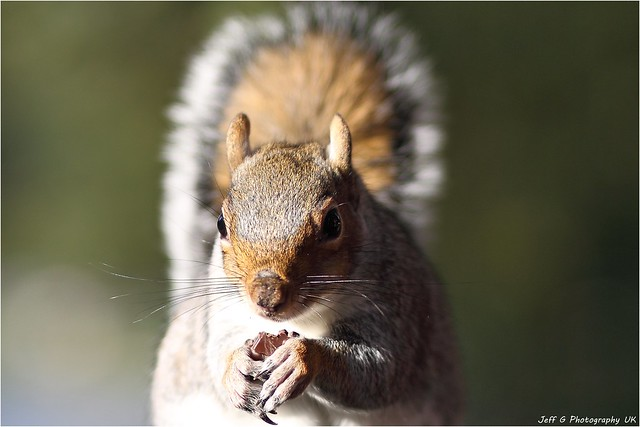 Grey Squirrel eating chocolate