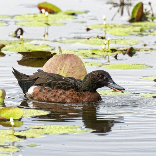 creatures of buckley's hole - a chestnut teal