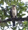 juvenile bicolored hawk by hawk person