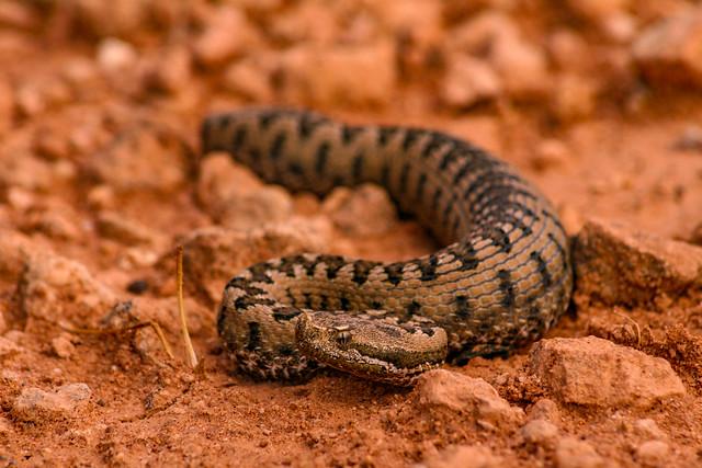 Snub-nosed viper (Vipera latastei)