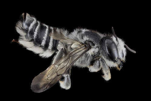 Megachile texana