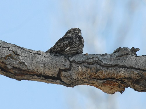 Common Nighthawk, roosting | by birding4ever